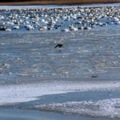 Vinterfugle i Nibe Bredning